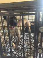 Mr-Leon-Mastiff-Enjoying-his-heavy-duty-dog-crate-from-carrymydog.com-by-Xtreme-dog-crates