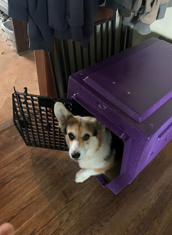 Paige_Corgi_Summer_Purple_kennel_Ruff_Land